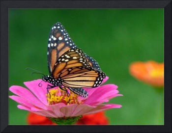Regal Monarch Butterfly