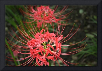 spider lilies red flowers photo art print