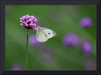Cabbage White Butterfly Bliss