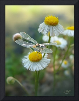 Daisy Fleabane and Dragonfly