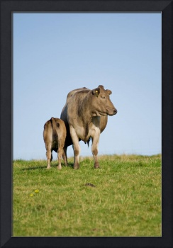 Grey cow and calf
