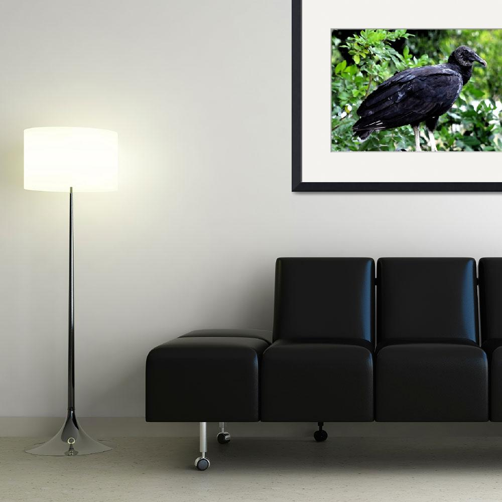 """American Black Vulture""  (2012) by pravine"
