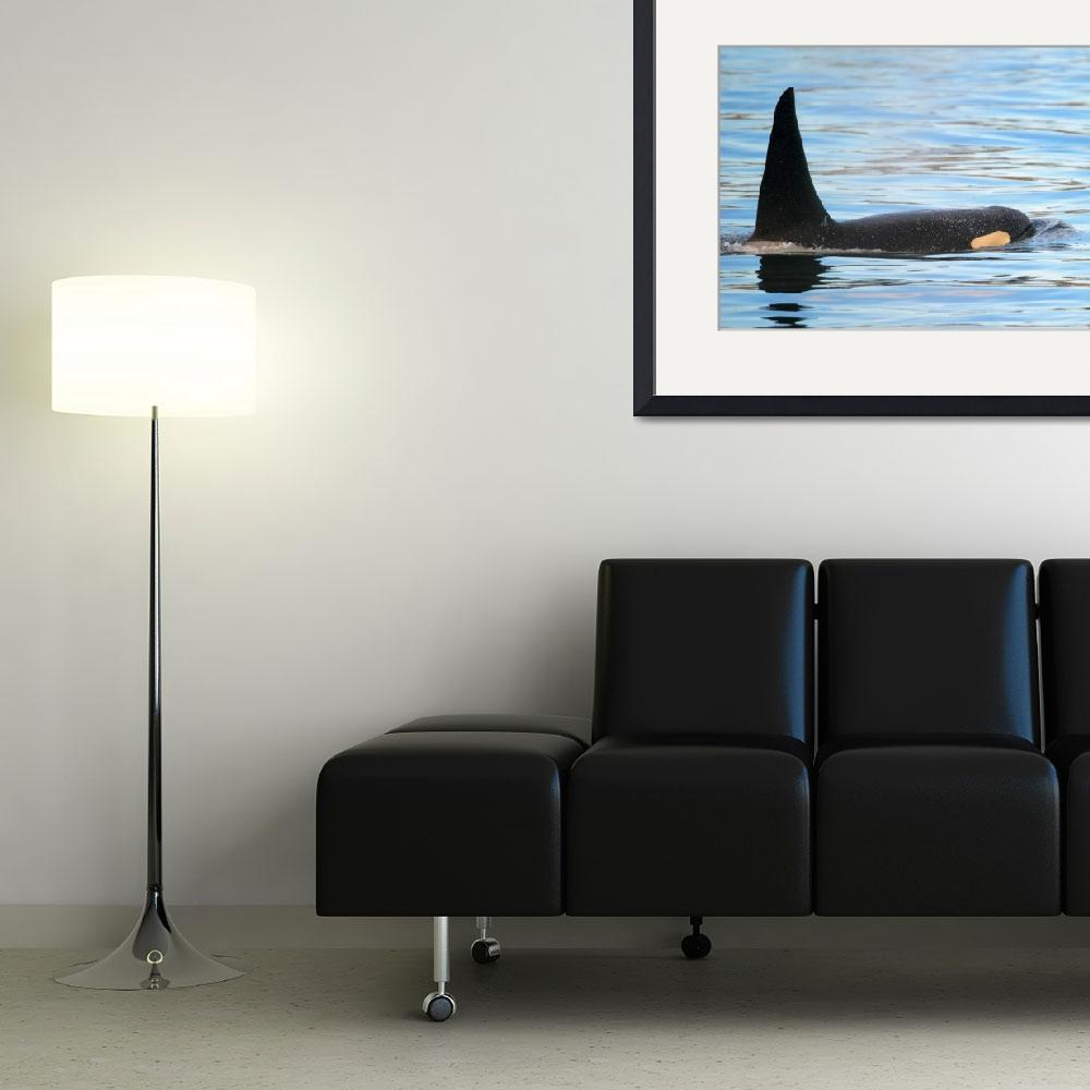 """Orca on the Surface&quot  (2015) by Dawsonimages"