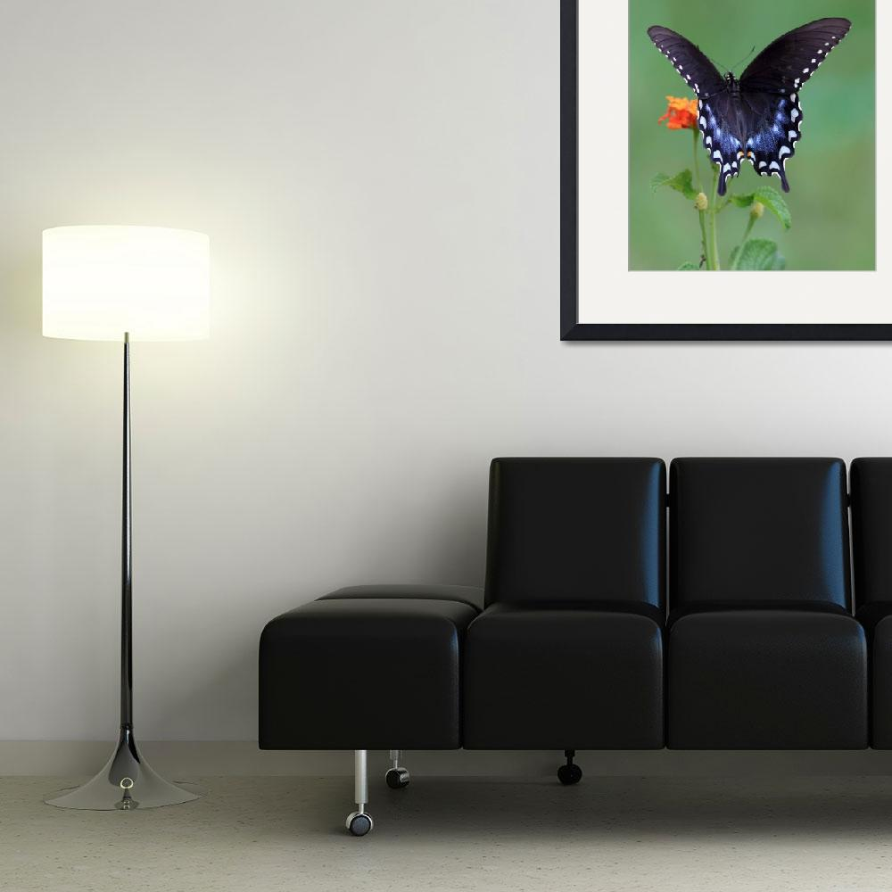 """Spicebush Swallowtail""  (2008) by Tanager"