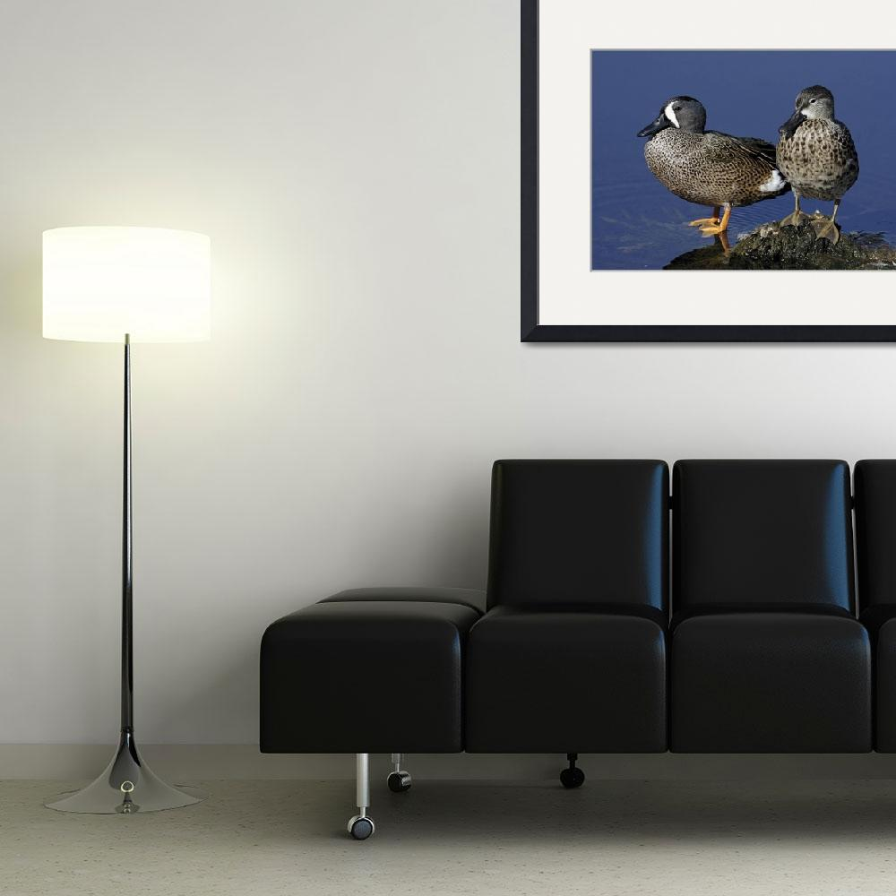 """Blue-Winged Teal Photograph&quot  by ArtLoversOnline"