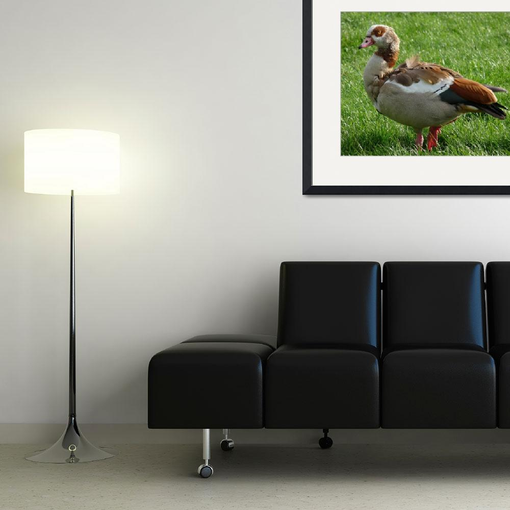"""""""Egyptian Goose&quot  (2009) by nemosphotography"""