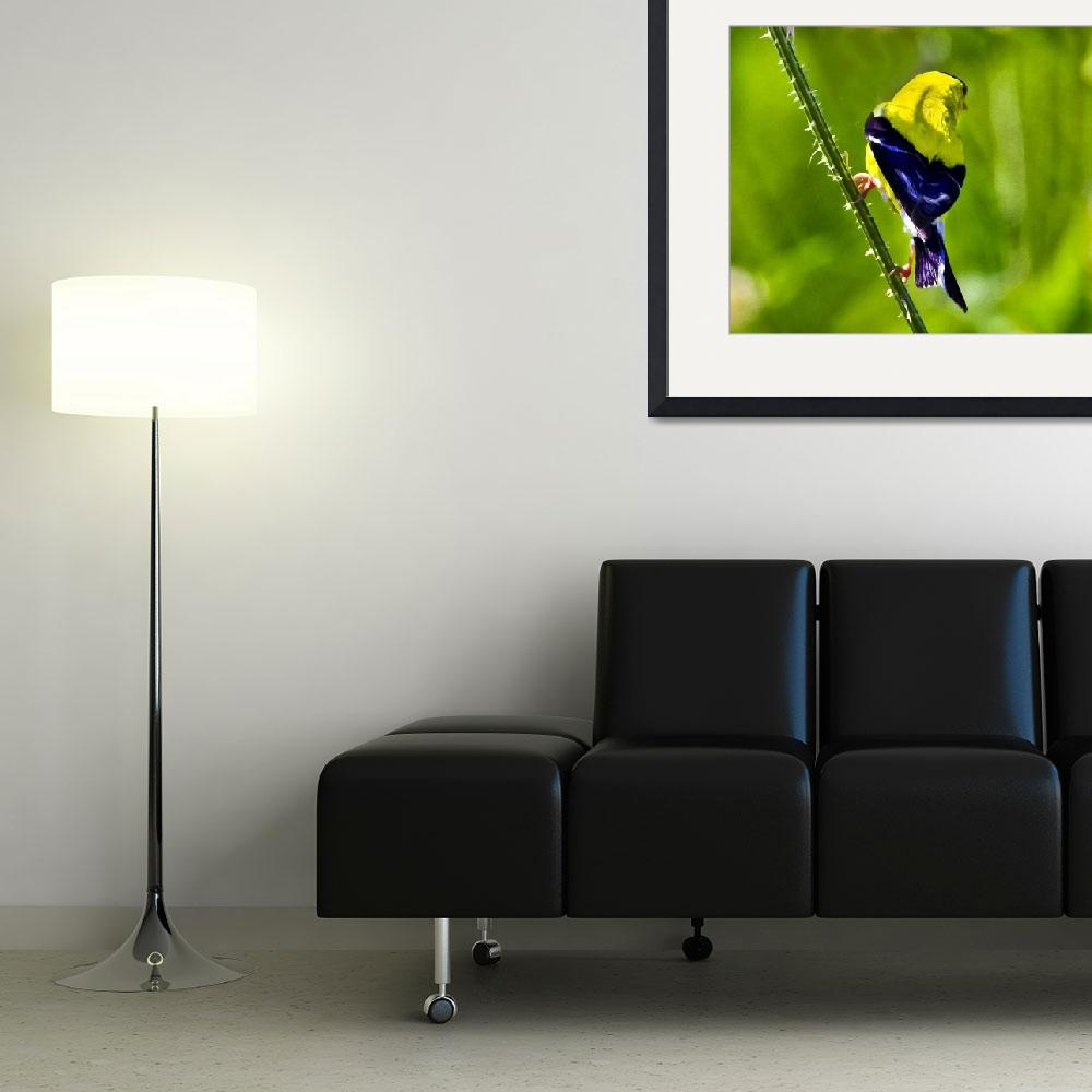 """""""American Goldfinch&quot  by ROBERTSCOTTPHOTOGRAPHYY"""