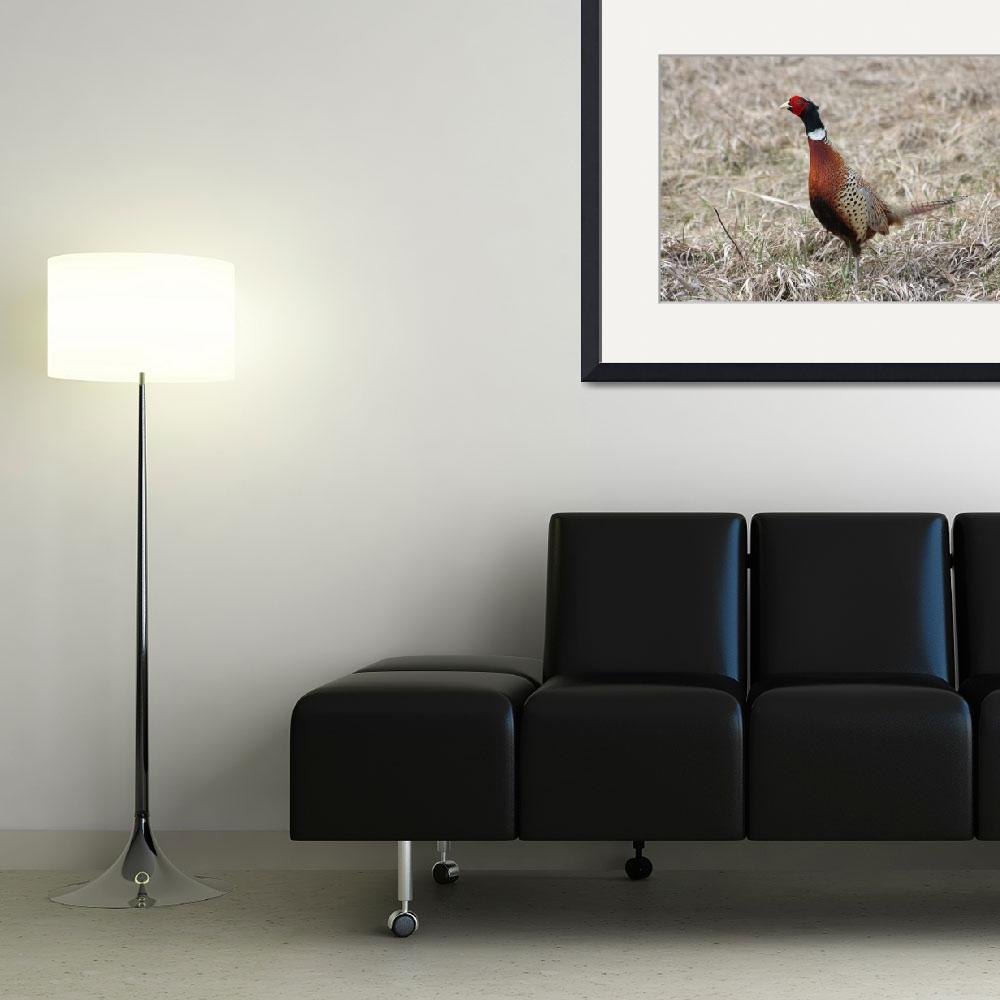 """""""Ring-necked Pheasant&quot  by cameragal"""