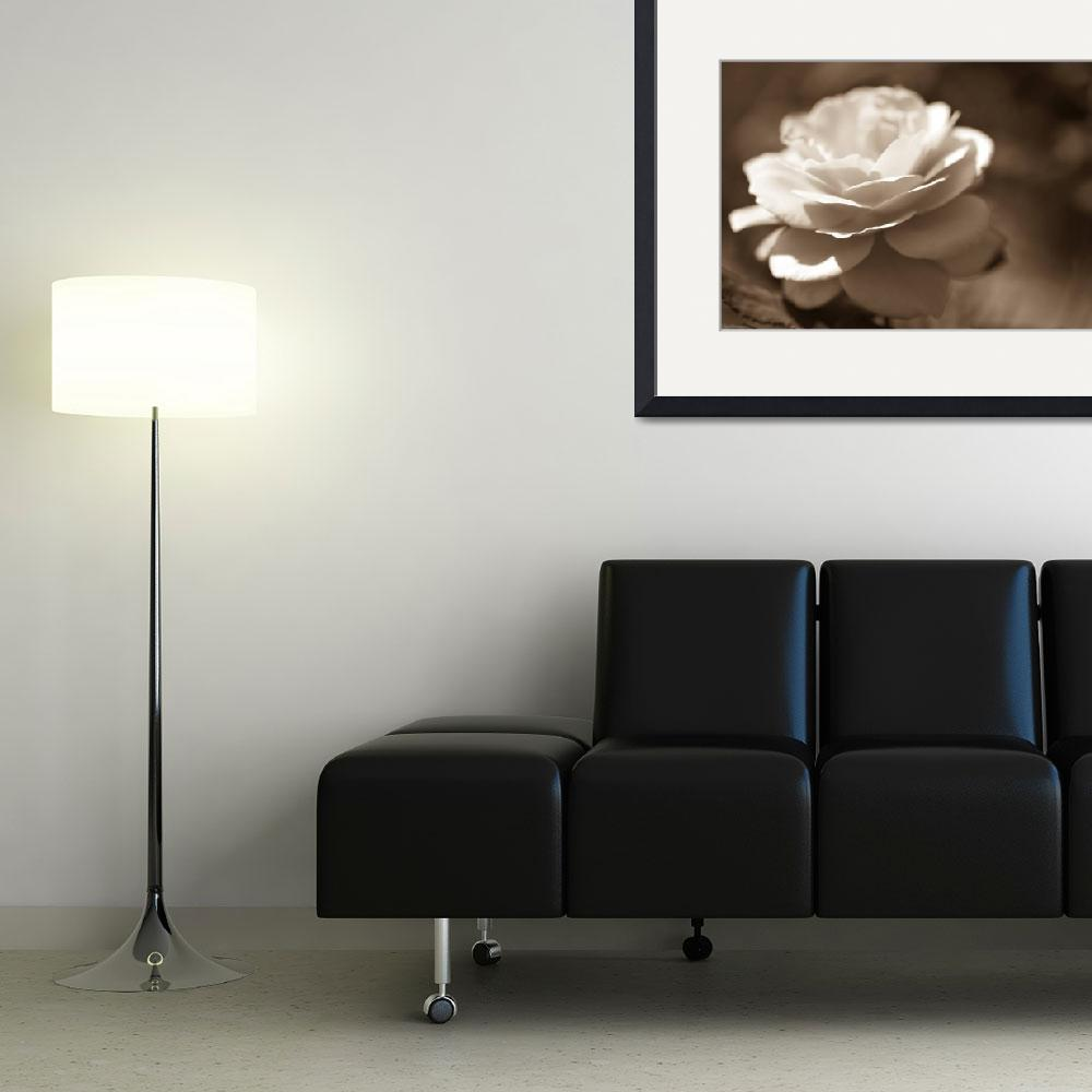 """""""Black and Blanc Rose&quot  (2010) by AandEphotography"""