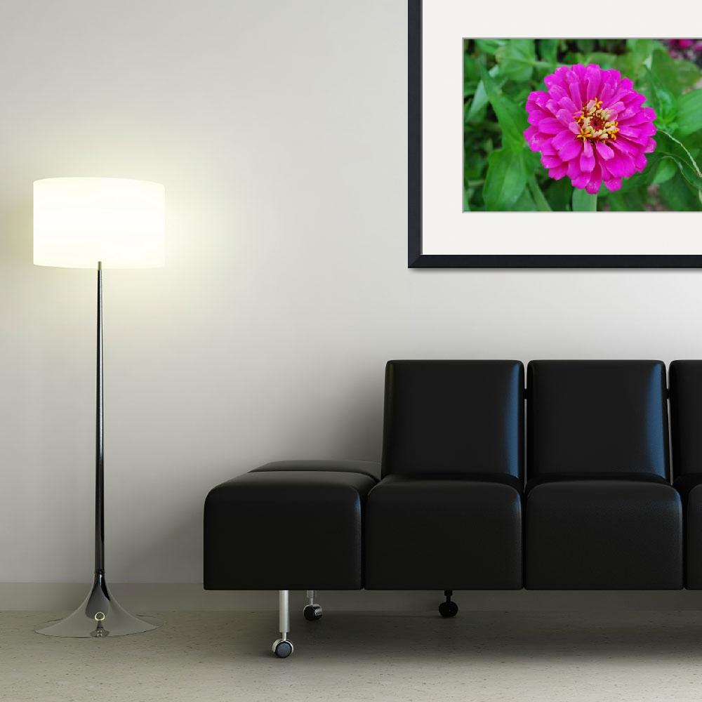 """""""Pink Zinnia&quot  (2010) by panoramic"""