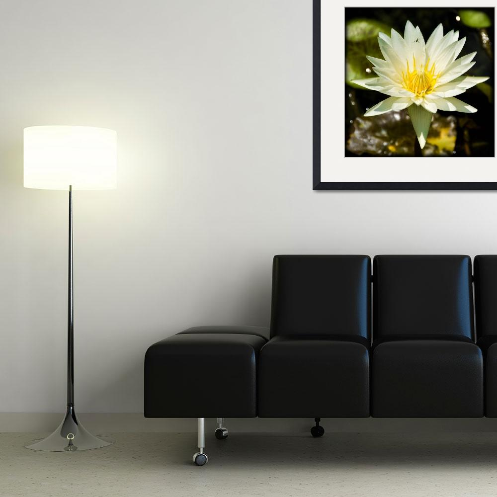 """""""White Water Lily""""  (2008) by juliekruger"""