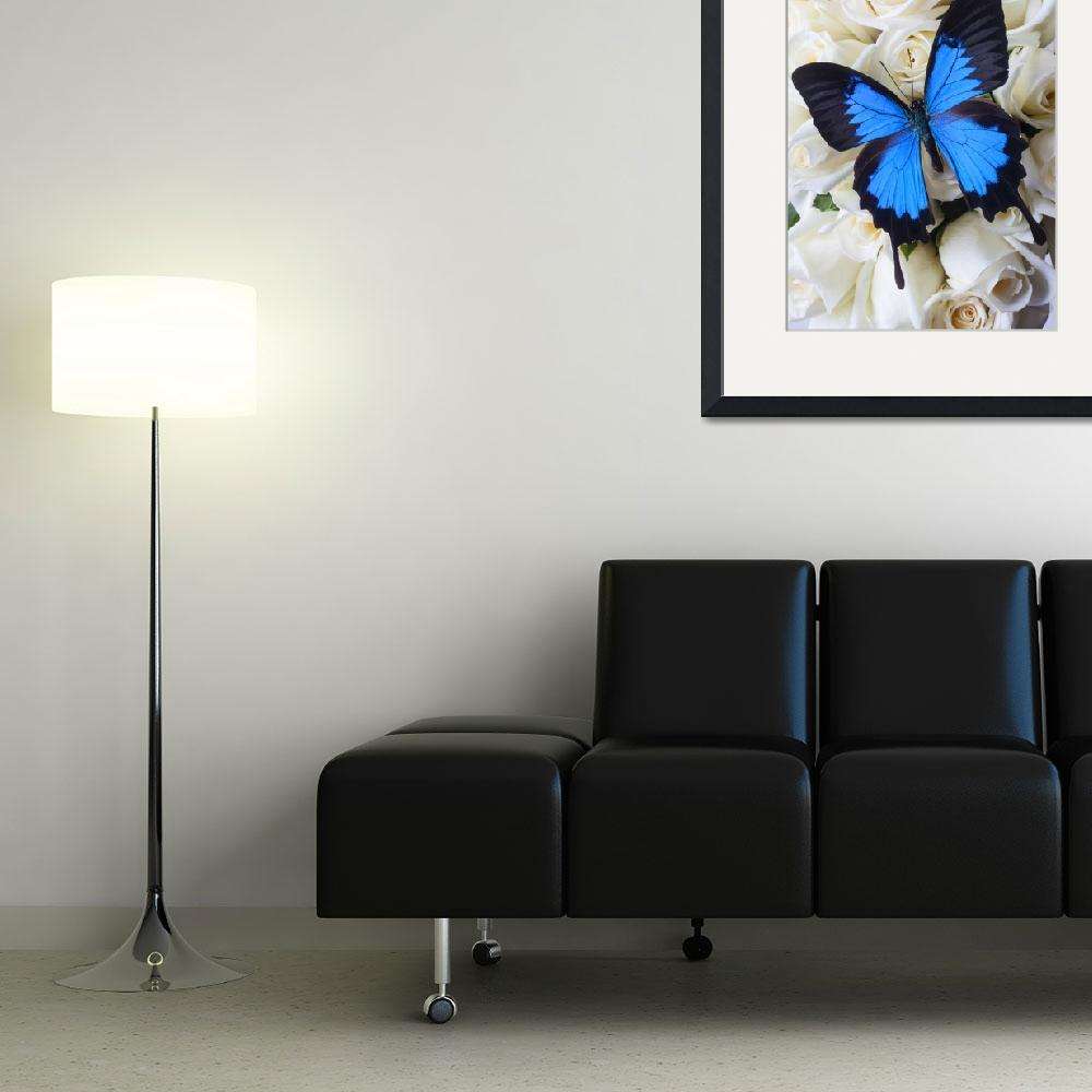 """""""Blue butterfly on white roses&quot  (2012) by photogarry"""