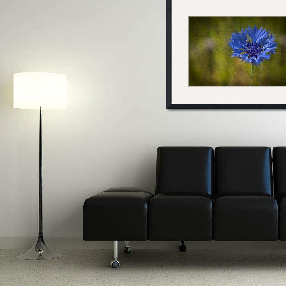 """Blue Cornflower&quot  by StevePurnell"