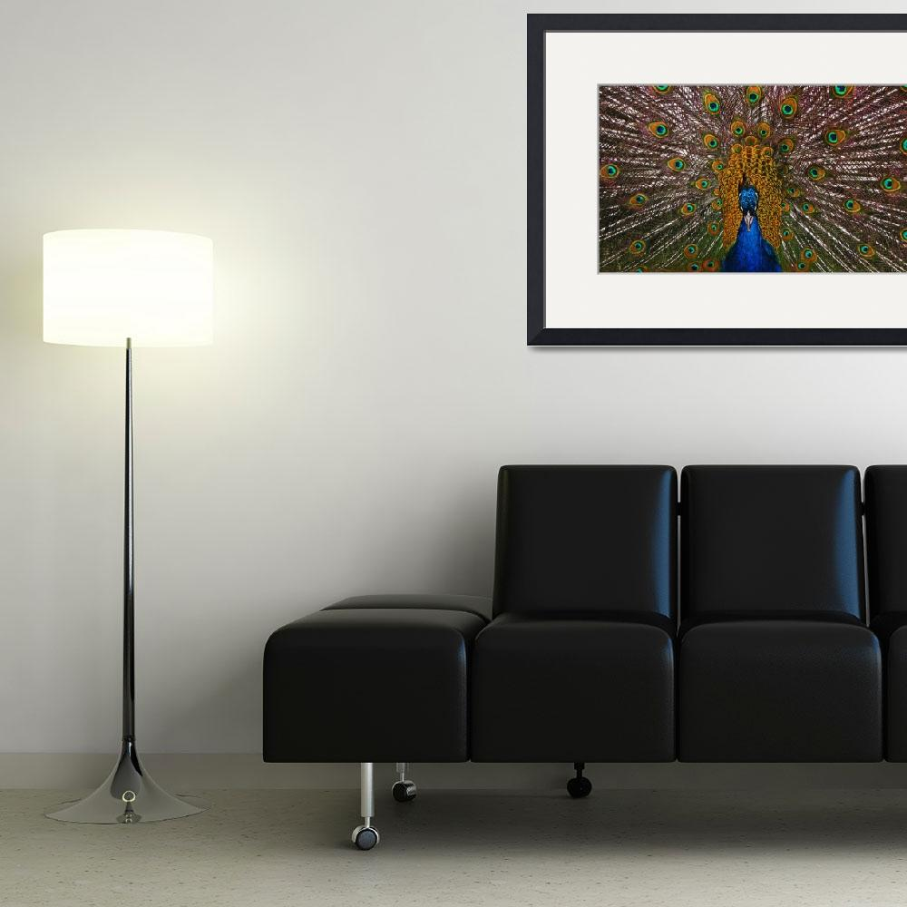 """""""Male Peacock&quot  (2011) by swaby"""