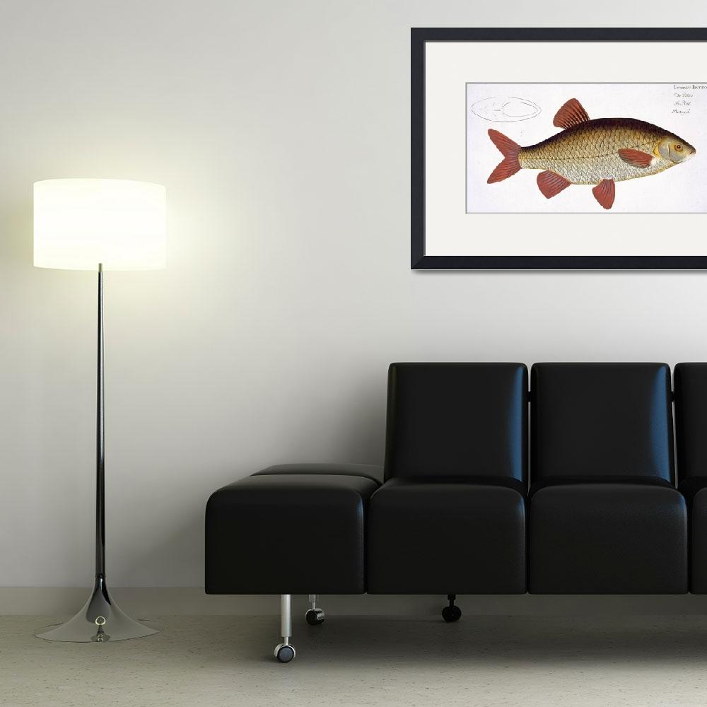 """""""Red Carp (Cyprinus Erithrophthalmus)&quot  by fineartmasters"""