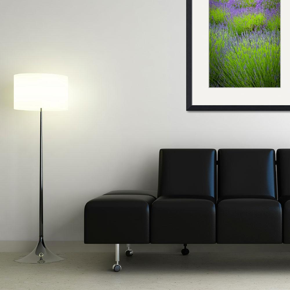 """""""Lavender Study&quot  (2011) by Inge-Johnsson"""
