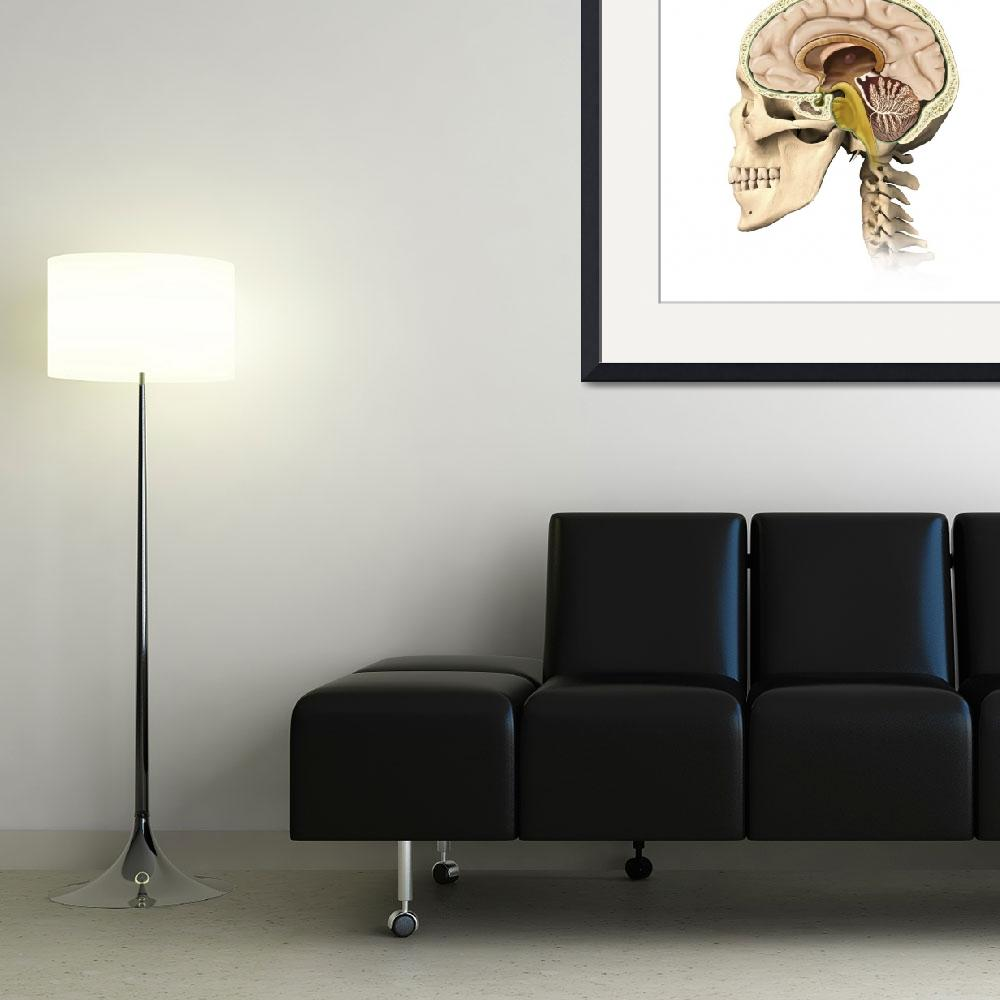 """Cutaway view of human skull showing brain details,&quot  by stocktrekimages"