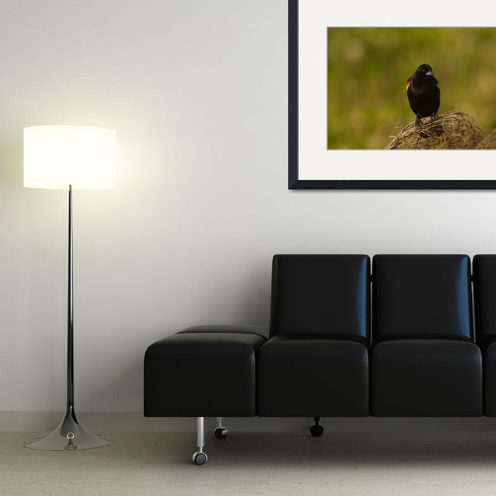 """""""Curious Red-Winged Blackbird&quot  (2006) by PaulDRobertson"""