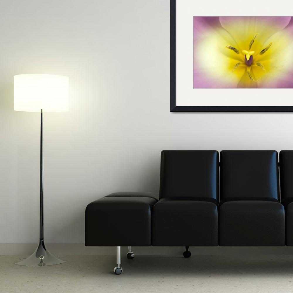 """""""Lavender and Yellow Tulip""""  (2011) by jgraber"""