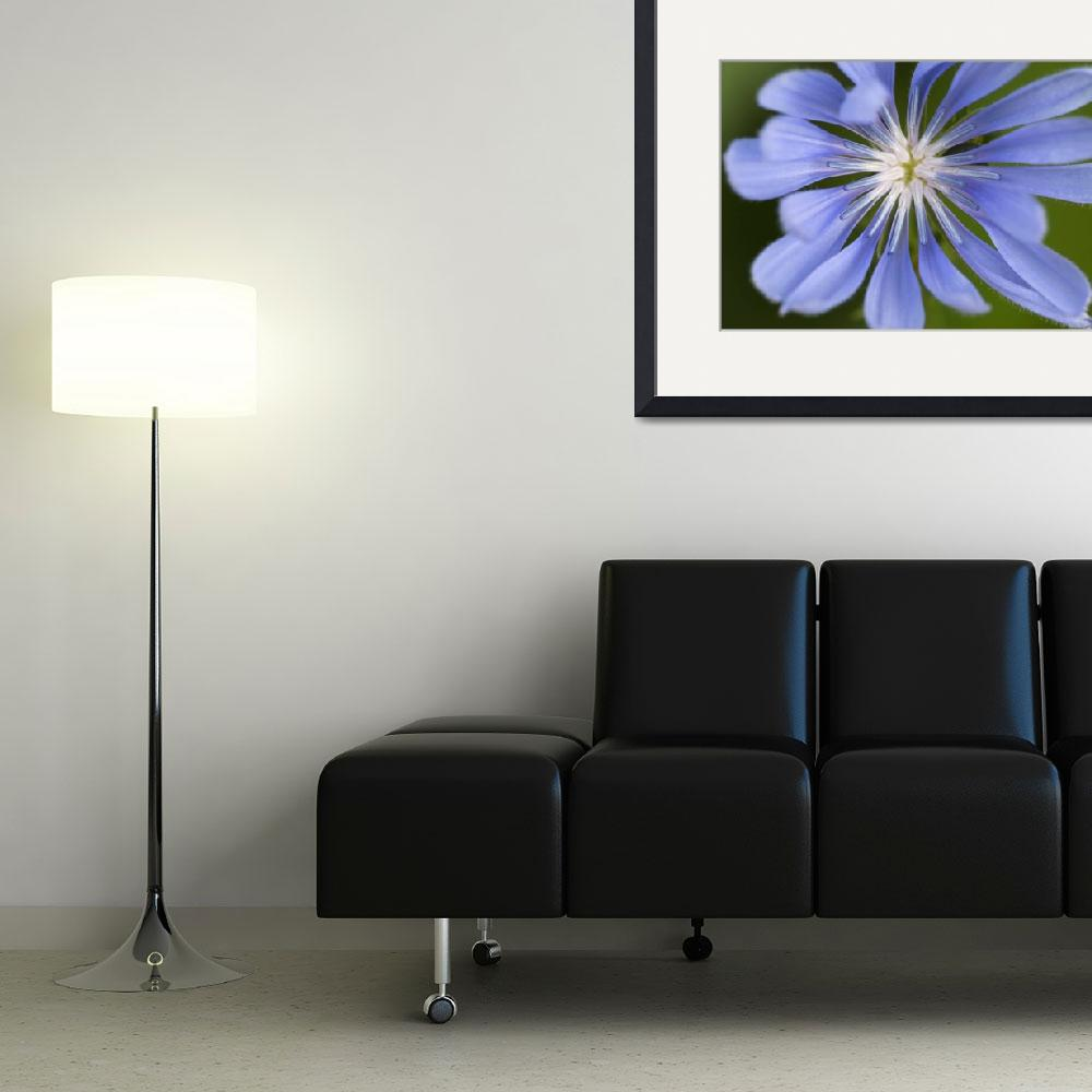 """""""Blue Purple Chicory Flower&quot  (2014) by SoulfulPhotos"""