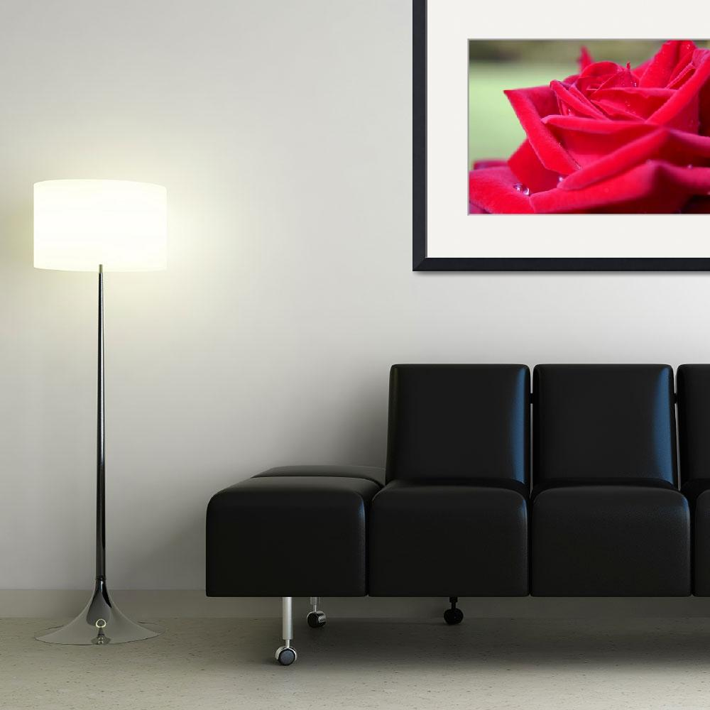 """Red Rose&quot  (2009) by H_Kaufman"