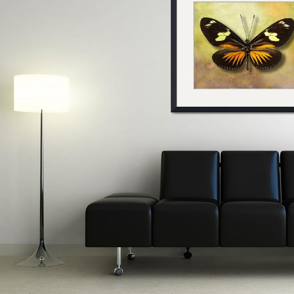 """""""Heliconius doris eratoniu Butterfly or The Postman""""  (2014) by vincent-field_photography"""