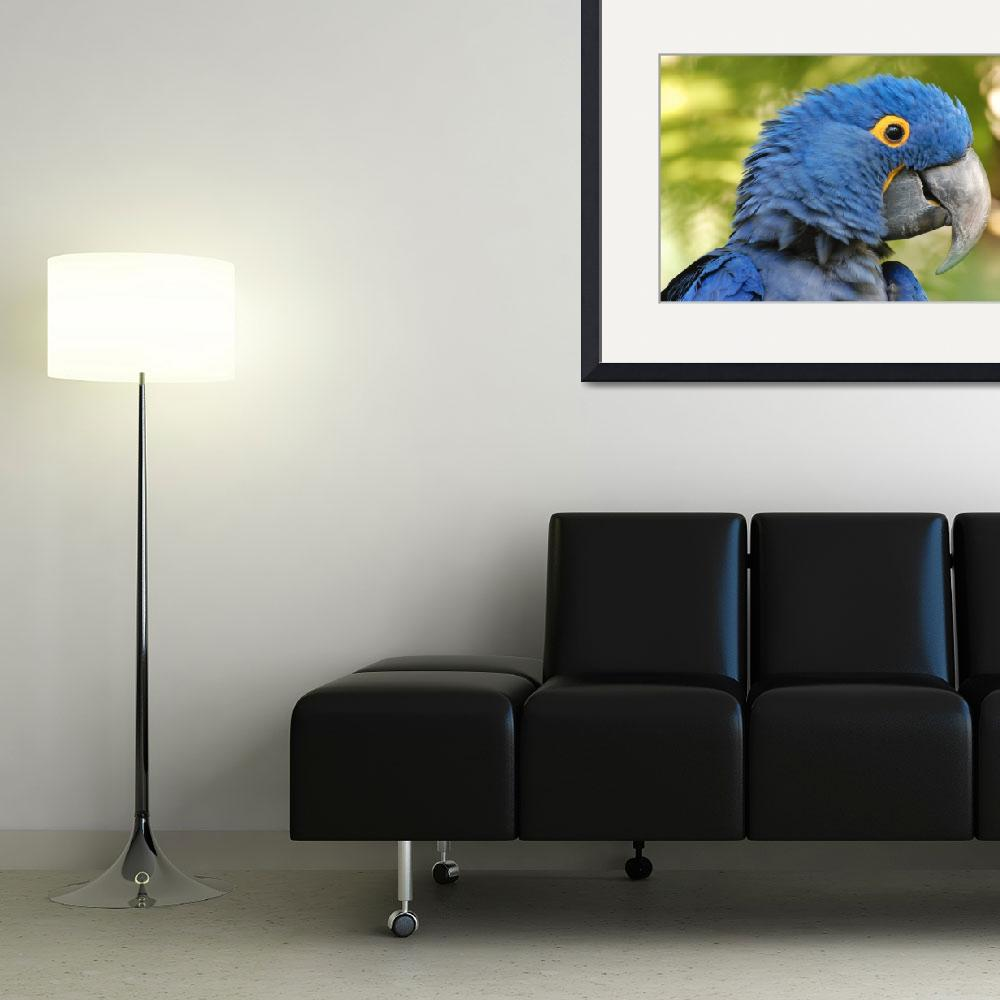 """""""Hyacinth Macaw&quot  by ameliaearhart"""