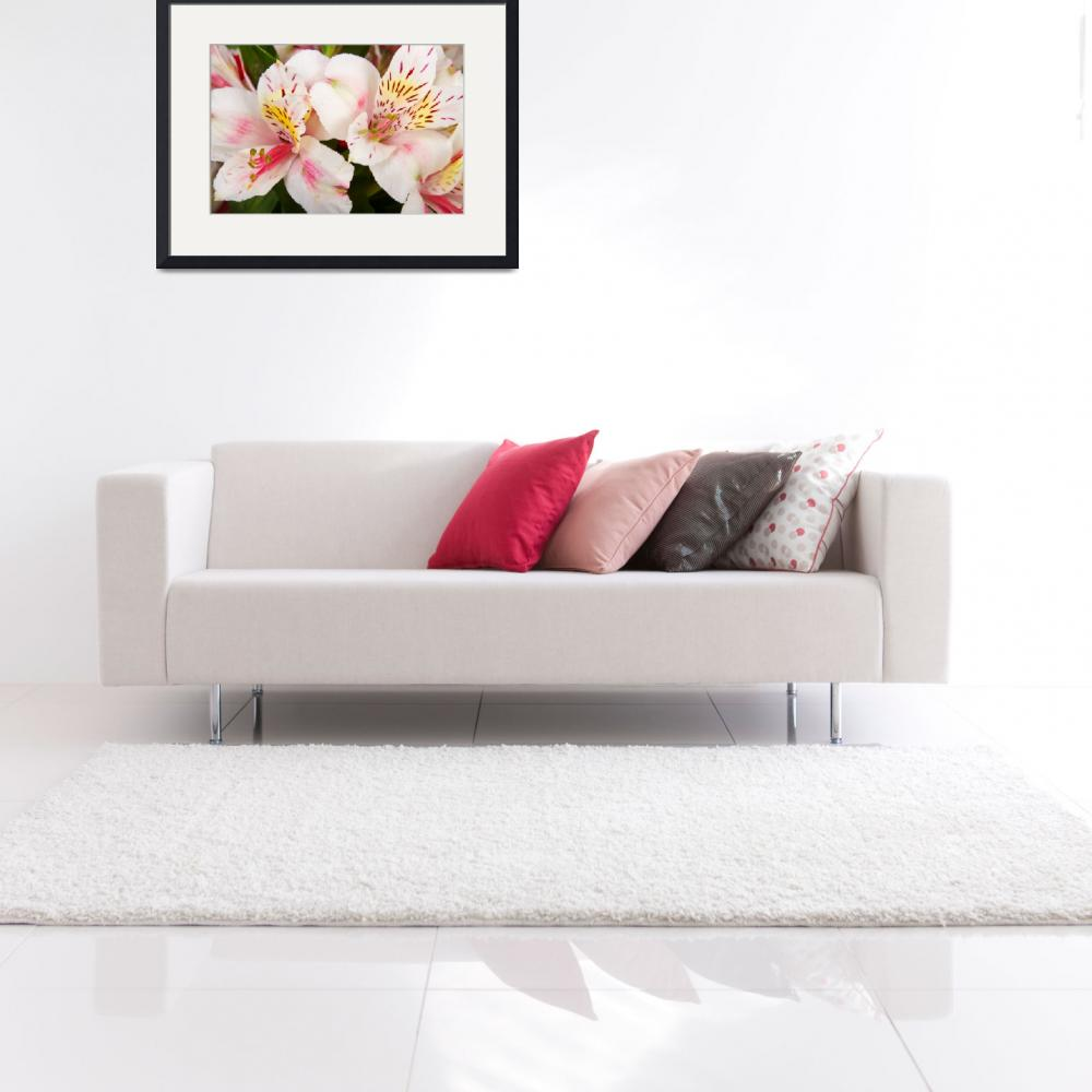 """""""Peruvian Lilies Flowers White and Pink Color Print&quot  (2011) by lightningman"""
