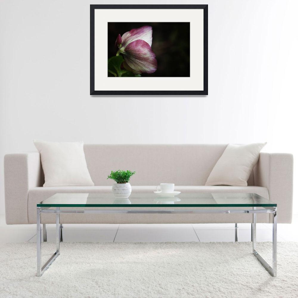 """Pink Hellebore In Shadows&quot  (2012) by edesigns15"