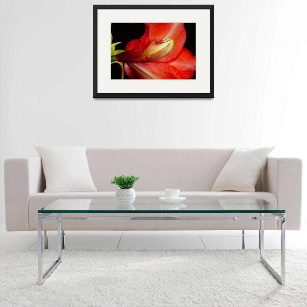 """""""Amaryllis Flower about to Bloom&quot  (2011) by lightningman"""