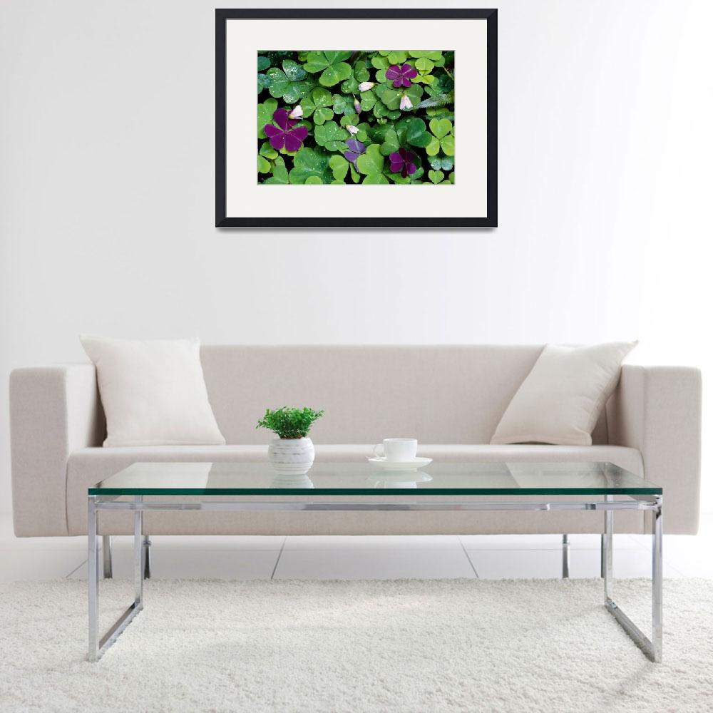 """""""Wood Sorrel Plants (Oxalis Oregana)&quot  by Panoramic_Images"""