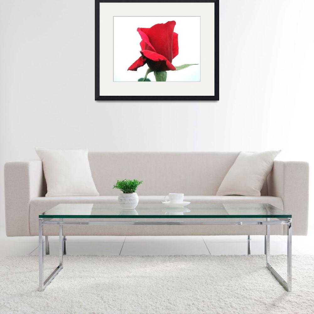 """""""Red Rose&quot  (2011) by johnscanvassprints"""