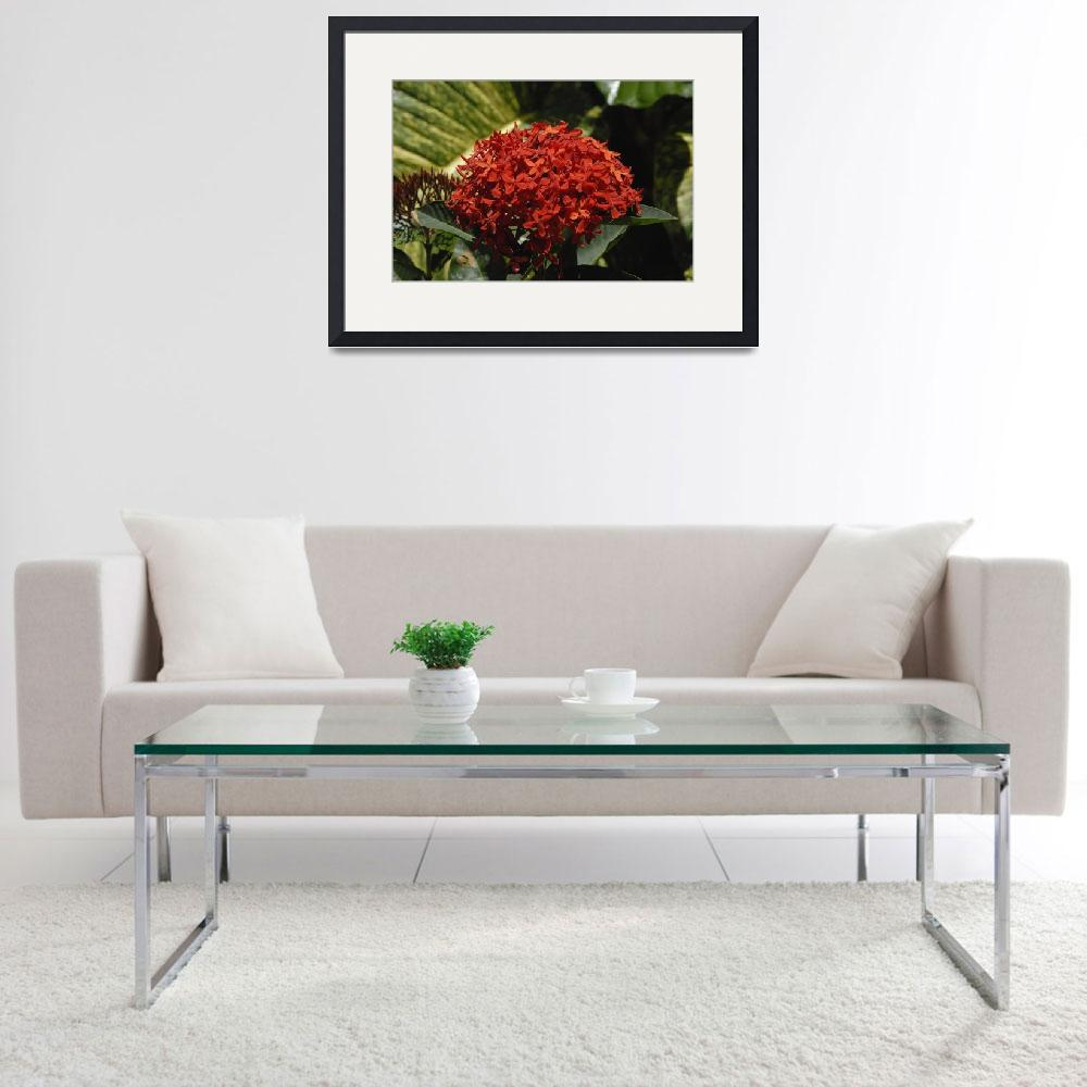 """""""Cayman Islands Plant Life: Red Ixora&quot  by RonScott"""