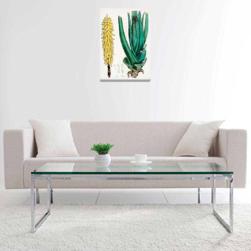 """Vintage Botanical Aloe Vulgaris&quot  by FineArtClassics"