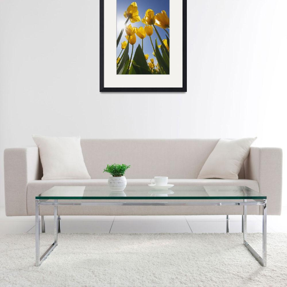 """Yellow Tulips Against A Blue Sky At Wooden Shoe Tu&quot  by DesignPics"