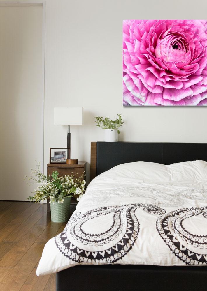 """""""Pink Ranunculus Flower Bloom""""  (2011) by johncorney"""