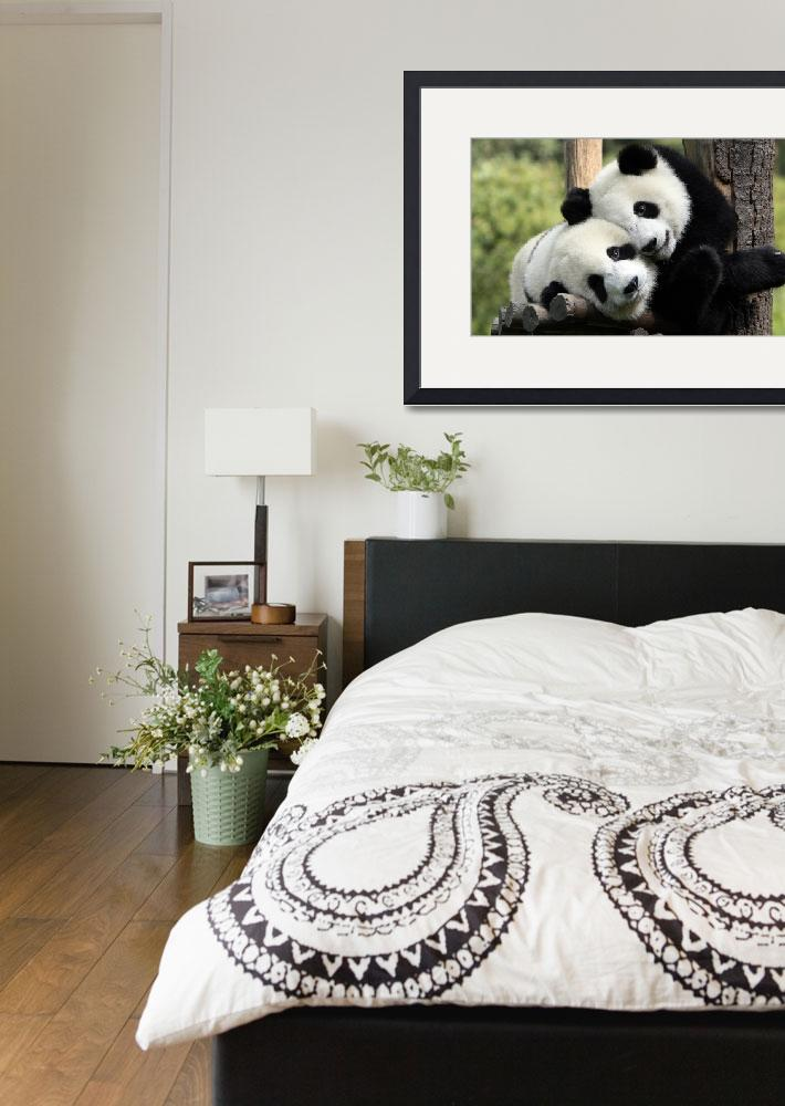 """""""Panda Bears Cuddle Each Other&quot  (2015) by AnswersFound"""