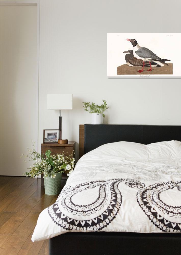 """Plate-314-Black-headed-Gull""  by FineArtClassics"