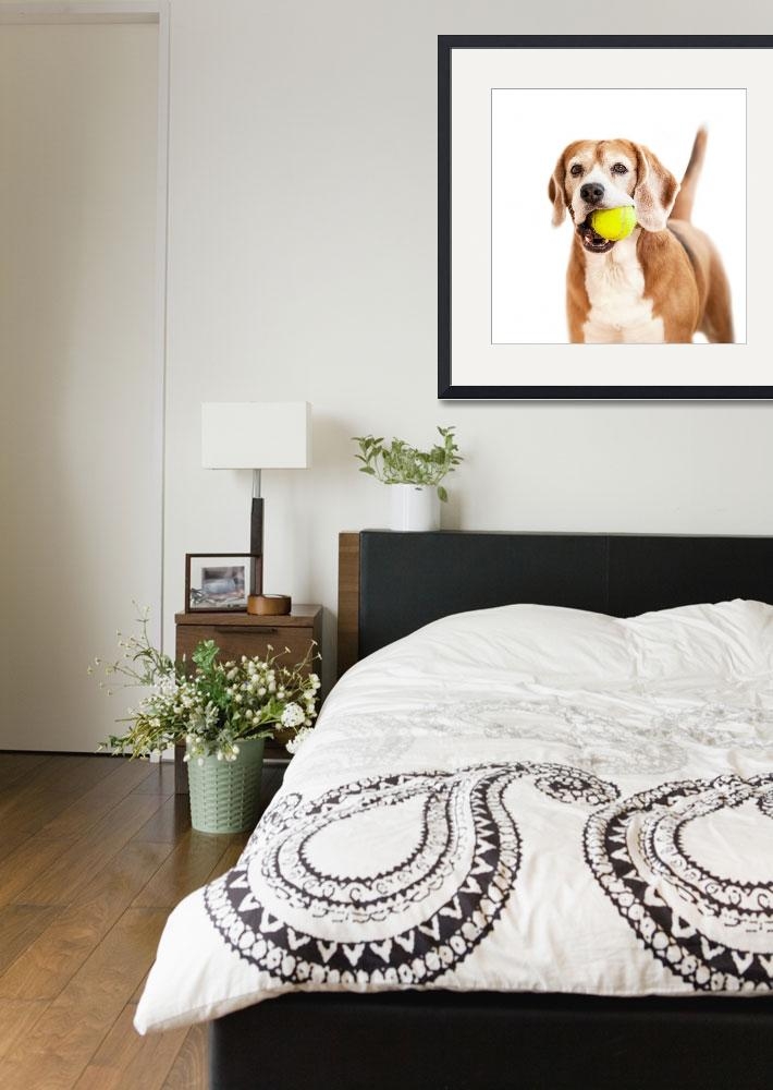 """""""Beagle with tennis ball portrait isolated on white&quot  by CreativePhotoTeam"""