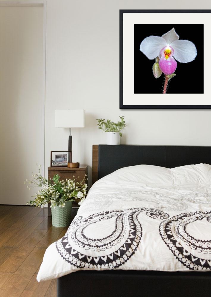 """""""Paphiopedilum Delenatii&quot  (2009) by ImageArt-Photography"""