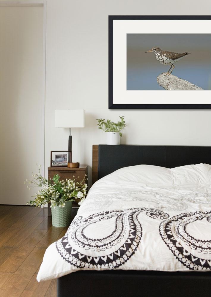 """""""Spotted Sandpiper&quot  (2012) by tagauthier"""