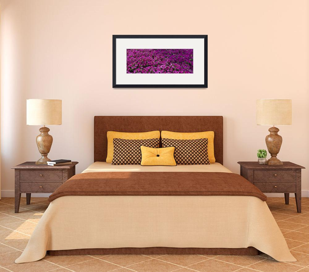 """""""Petunia Bed Ontario Canada&quot  by Panoramic_Images"""