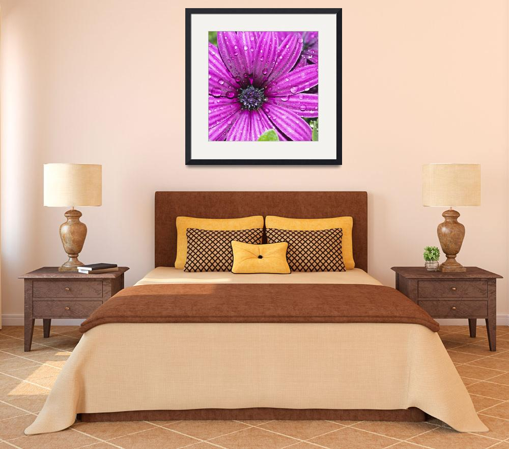 """Purple Osteospermum""  by StevePurnell"