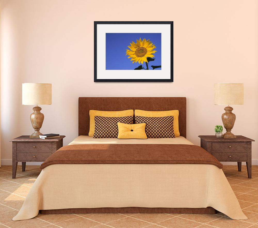 """""""Sunflower, Queens County, Prince Edward Island, Ca&quot  by DesignPics"""