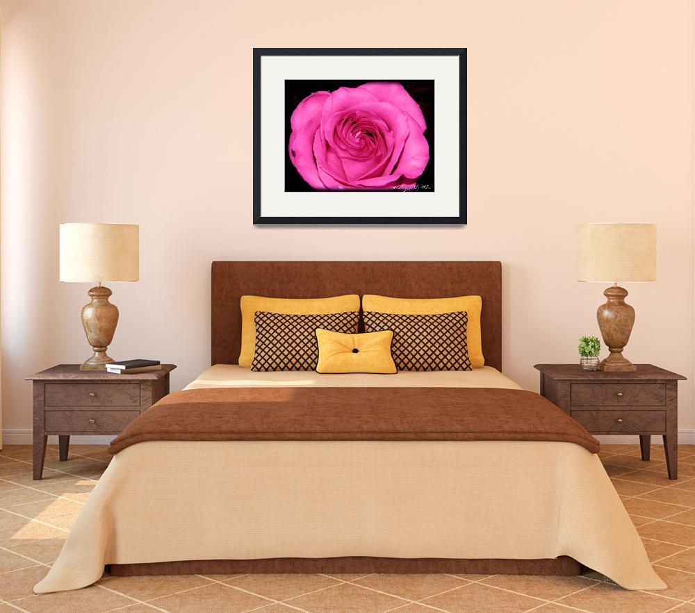 """""""Pink Rose&quot  (2012) by photosbykriss"""