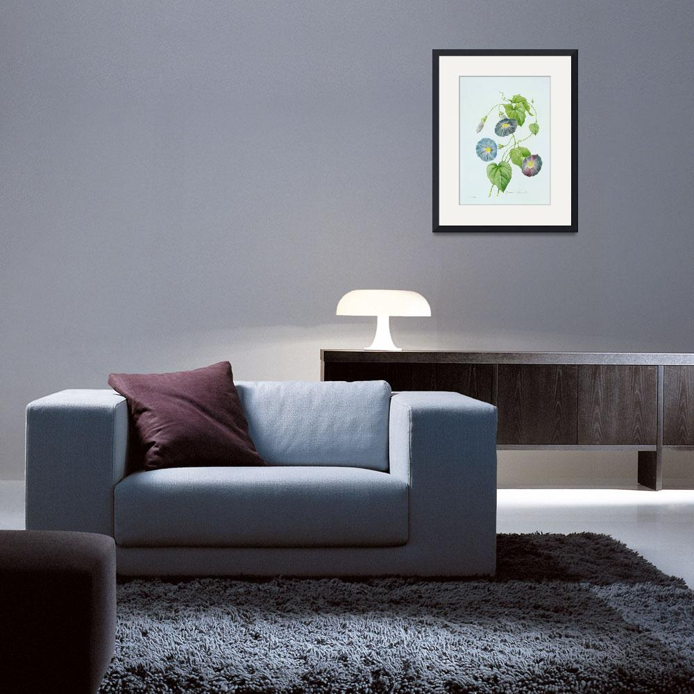 """""""Morning Glory (colour engraving)""""  by fineartmasters"""