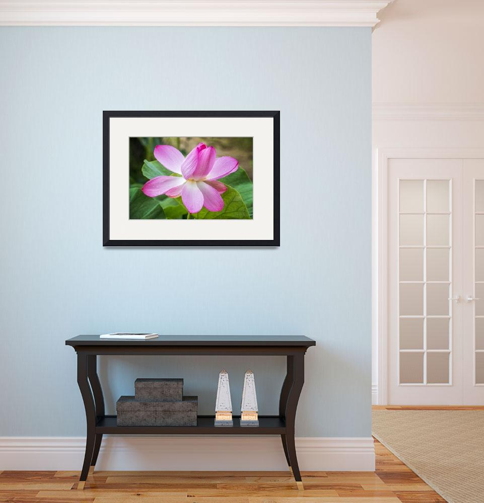 """""""Lotus Water Lily with Gorgeous Pink Petals&quot  (2018) by lillisphotography"""
