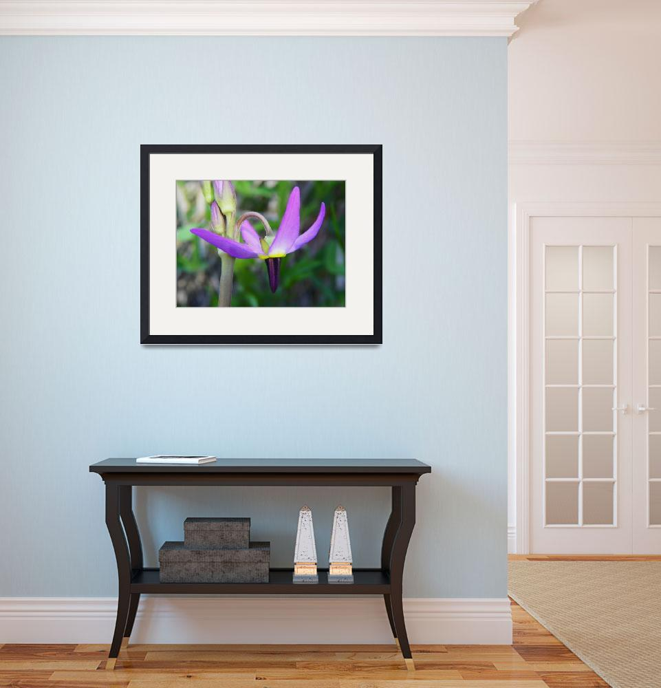"""""""Tall Mountain Shooting Star Dodecatheon jeffreyi&quot  (2012) by vpicks"""