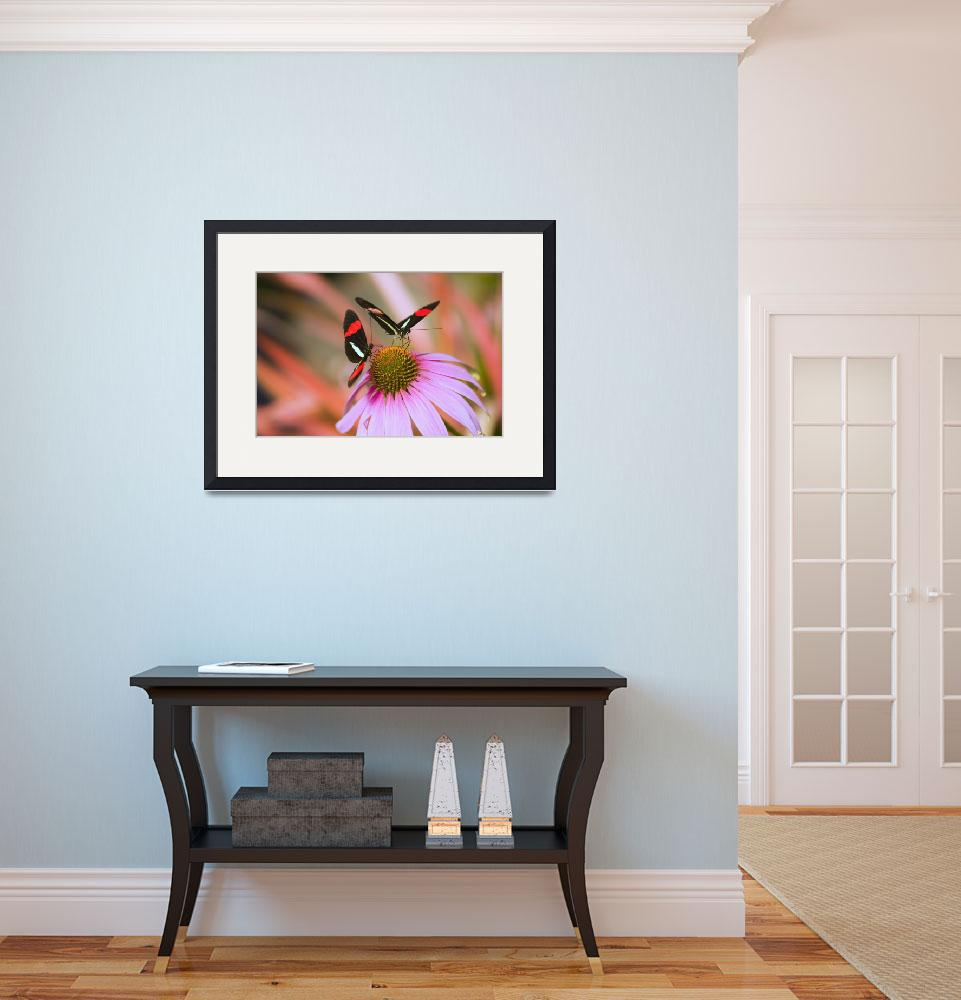 """""""Two Colorful Butterflies On Cone Flower Blossom In&quot  by DesignPics"""