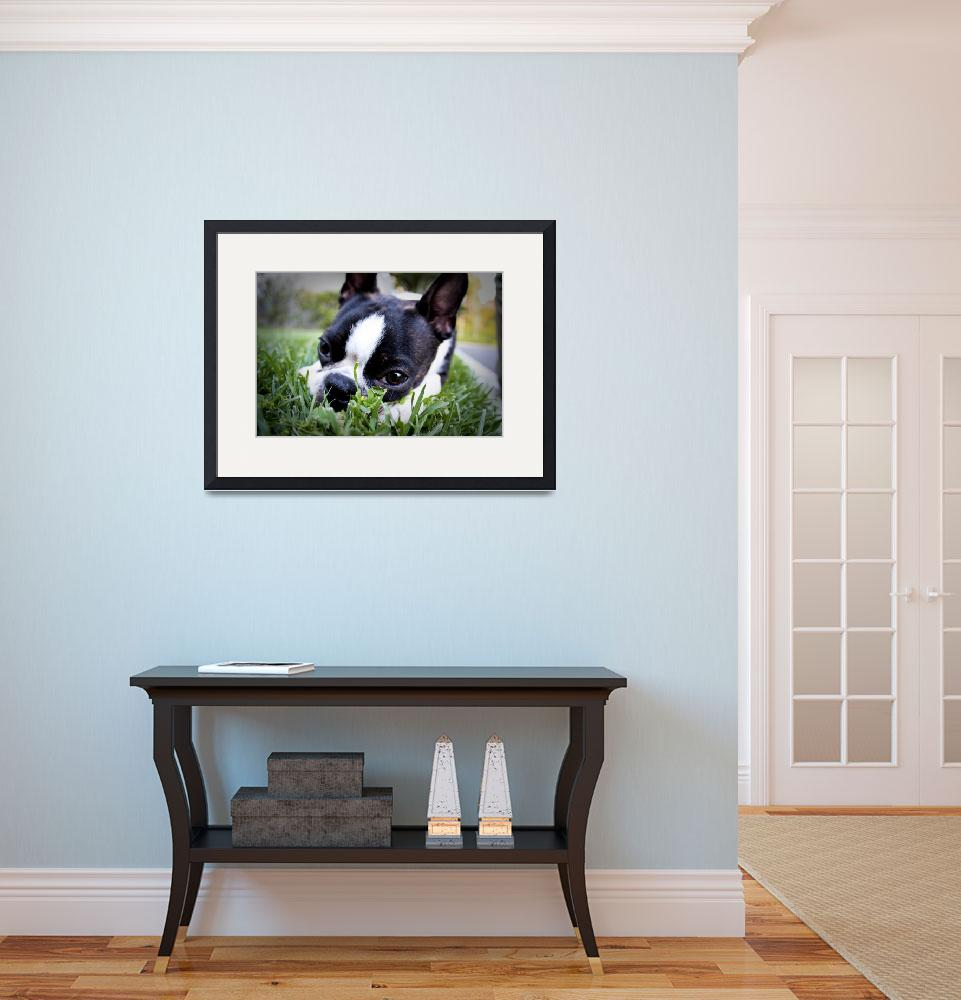 """Boston Terrier""  (2008) by bostonterrier"